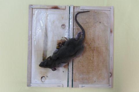 Tránh dịch hạch bằng phương pháp diệt chuột đơn giản, hiệu quả