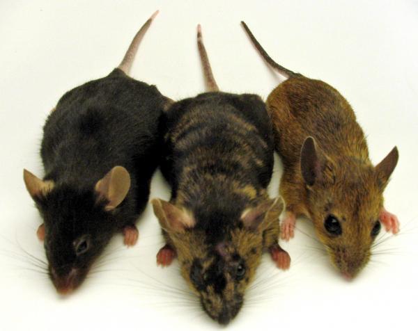 Đặc điểm của các loài chuột