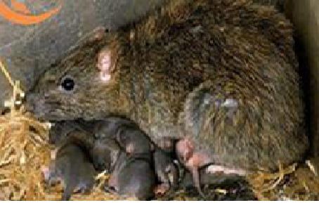 Dịch vụ diệt chuột an toàn hiệu quả