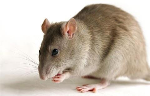 Giới thiệu phương pháp diệt chuột
